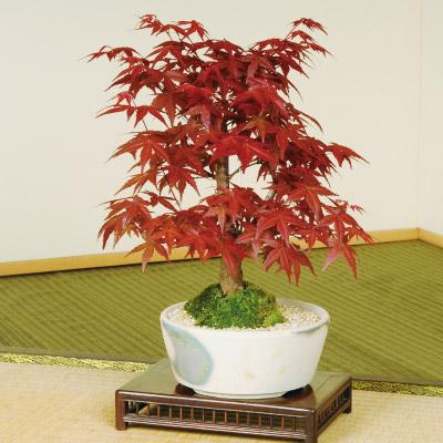紅葉盆栽「出猩々(でしょうじょう)もみじ」
