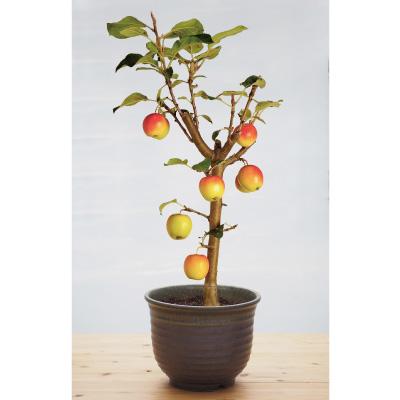 実のなる盆栽「長寿りんご」