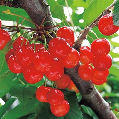 <日本直販> さくらんぼ 暖地桜桃 1ポット
