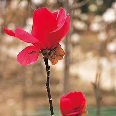 <日本直販> 赤花モクレン バルカン 1ポット