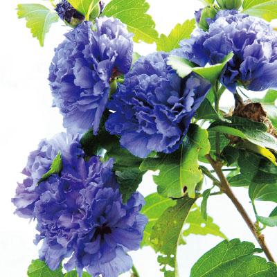 フラワーフェア 八重咲きムクゲ紫玉2株