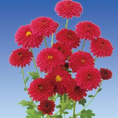 フラワーフェア 寒菊 お正月八重 4種8株