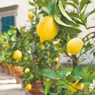 フラワーフェア レモン 璃の香(りのか) 1ポット