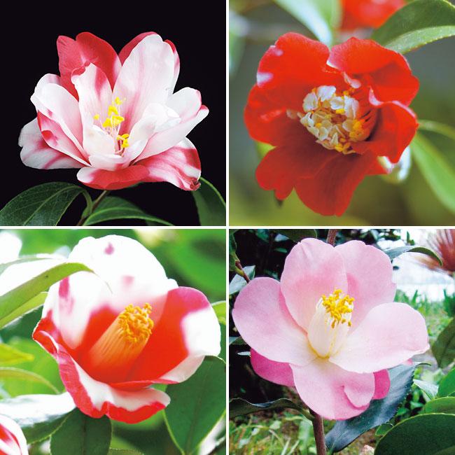 フラワーフェア 椿 銘花コレクション 4種4株