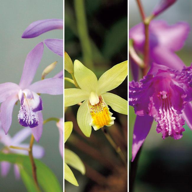 フラワーフェア しらん(紫蘭)バラエティー3種3株
