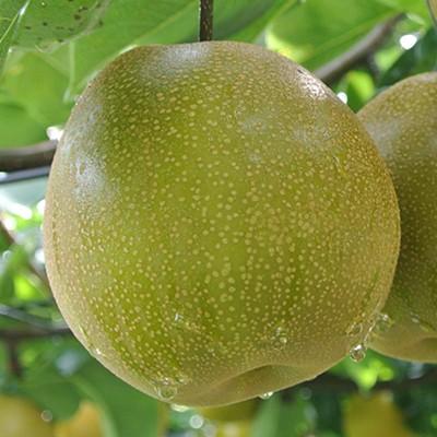 栃木県那須野産 にっこり梨 5kg