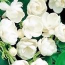 <日本直販> マツリカ(茉莉花)八重咲き 2株