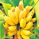 <日本直販> ウルトラモンキーバナナ 1株